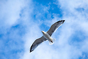 Close up underside of wings and feathers of juvenile Herring Gull, Larus argentatus smithsonianus, soaring in lone flight at Cape Cod, USA