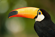 Toco Toucan<br />