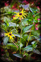 Black-eyed susans photographed and worked into a stylized photographic art.