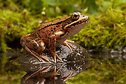 A red-legged frog near Circle Creek along the Oregon Coast. The property is managed as a preserve by the North Coast Land Coservancy, This species is declining rapidly, partly becuase of introduced bull frogs that prey on the frog.