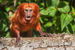 "Portrait of an endangered golden lion tamarin (Leontopithecus rosalia) sitting on a tree making  the ""long call"",Brasil, South America"