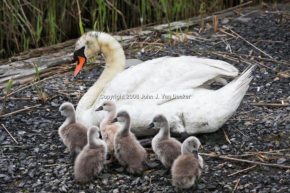Mute Swan with brood