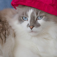 Long-haired, blue eyed male cat looks fetching in red beret.