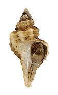 European Sting Winkle - Ocenebra erinacea