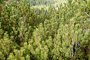 Swiss mountain pine (Pinus mugo) known as creeping pine, dwarf mountainpine, mugo pine, mountain pine or scrub mountain pine is a species of conifer, native to high elevation habitats from southwestern to Central Europe.Photographed at the Schlick 2000 ski centre, Stubai, Tyrol, Austria in September