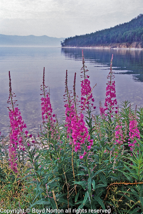 Flower, Ivan Chai, (Ivan's tea), fireweed, Ushkanyi Island, Zabaikalski  National Park, Lake Baikal. Lake Baikal is the oldest (25 million years), deepest (5700 feet) and largest lake in the world by volume(it holds 20% of the earth's liquid fresh water). Threatened by pollution and most recently by an oil pipeline, Baikal has become a rallying point for Russian and international conservationists. Baikal was declared a World Heritage Site in 1996. Boyd Norton, the photographer here, worked with Russian and U.S. environmentalists to get Baikal designated a World Heritage Site.