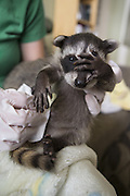 Raccoon <br /> Procyon lotor<br /> Six-week-old orphaned baby in foster home<br /> WildCare, San Rafael, CA