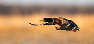 Mallard ducks at the Delta Marsh, early Thursday, April 12, 2012. (TREVOR HAGAN)