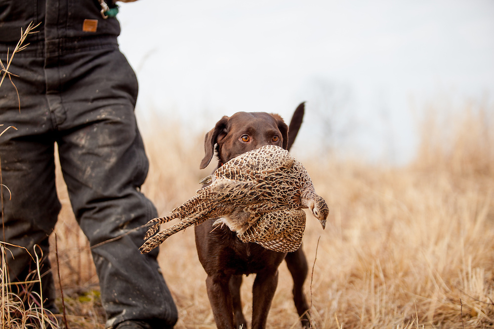 Chocolate Lab retrieving pheasant.