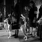 """February 11, 2013 - New York, NY : .Images from the 2013 Westminster Kennel Club Dog Show at Madison Square Garden on Monday evening. Competitiors, including American Foxhound """"Jewel,"""" center, wait for the hound division to begin. .CREDIT: Karsten Moran for The New York Times"""
