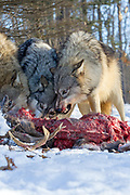 A pack of gray wolves fight while feeding on a buck. Captive pack.