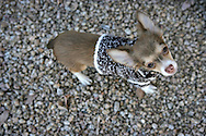 3rd December 2007, Phoenix, Arizona. Rio the Chihuahua puppy wearing a wooly jumper. .PHOTO © JOHN CHAPPLE / REBEL IMAGES..tel: +1-310-570-9100.