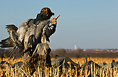 Sandhill Crane Hunting Stock Photos