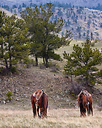 These horses are hobbled to keep them from wandering off while their riders are not with them.