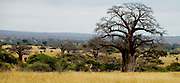 Tarangire National Park, Tanzania, with huge Baobab-trees.