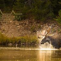 bull moose in lake shaking head
