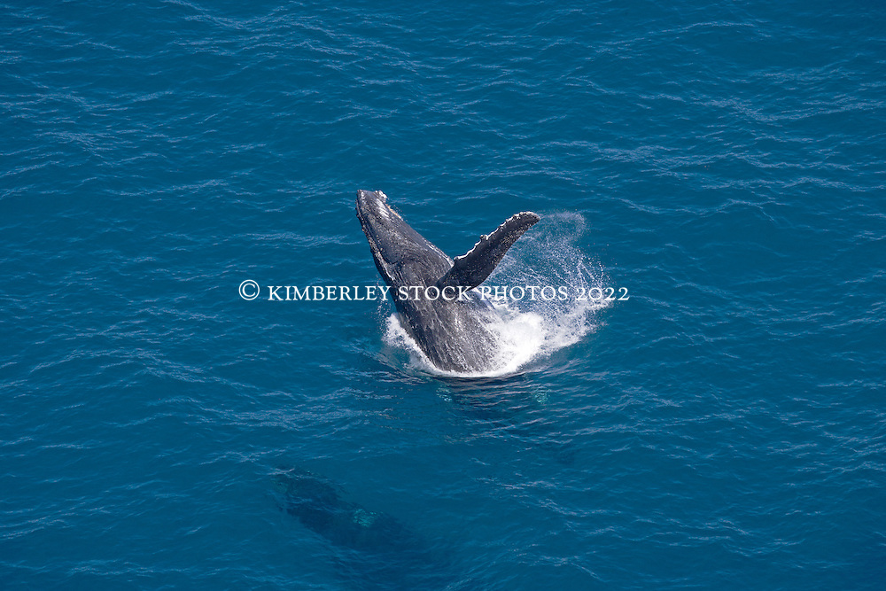 A humpback breaches off Broome's Cable Beach as another swims underneath.