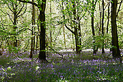 Bluebells in a wood, England