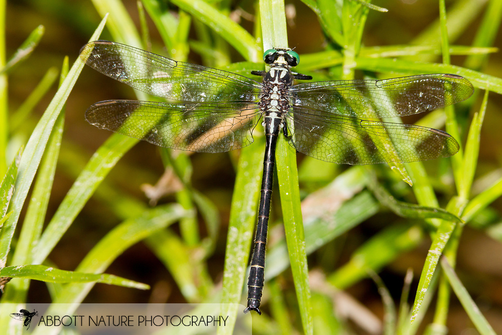 Sable Clubtail (Stenogomphurus rogersi) - male<br /> PENNSYLVANIA: Huntingdon Co.<br /> Beaver Dam Meadow off Pine Swamp Rd.<br /> 26.June.2015<br /> J.C. Abbott #2756