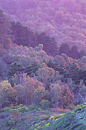 "'Pastel"" trees backlit at sunset, Berkeley Hills, CALIFORNIA"