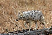 Coyote walking on downed log in habitat