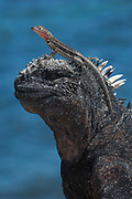 Marine Iguana (Amblyrhynchus cristatus) and Lava lizard (Tropidurus albemarlensis)<br /> Cabo Douglas, Fernandina Island, GALAPAGOS ISLANDS<br /> ECUADOR.  South America<br /> ENDEMIC TO THE ISLANDS<br /> These are the only true marine lizard in the world. Although not truely social they are highly gregarious, often spending cool nights in tight clusters. As the sun rizes they can be seen sunning themselves on the rocks to heat up before going into the sea to feed. Their black coloration helps them to absorb the sun's energy and to camourflage on the lava rocks.