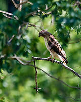 Hawk on a Distant Branch. Image taken with a Nikon D5 camera and 600 mm f/4 VR lens.