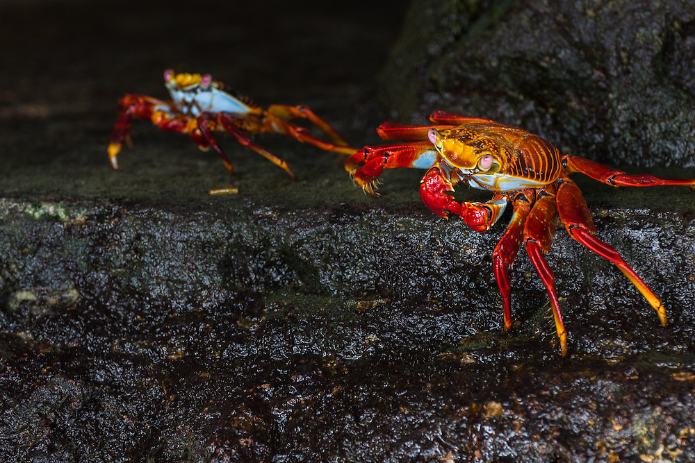 Two Sally Lightfoot crabs creeping across the rock in search of fresh seaweed and tiny insects, Santa Cruz, Galapagos, Ecuador.