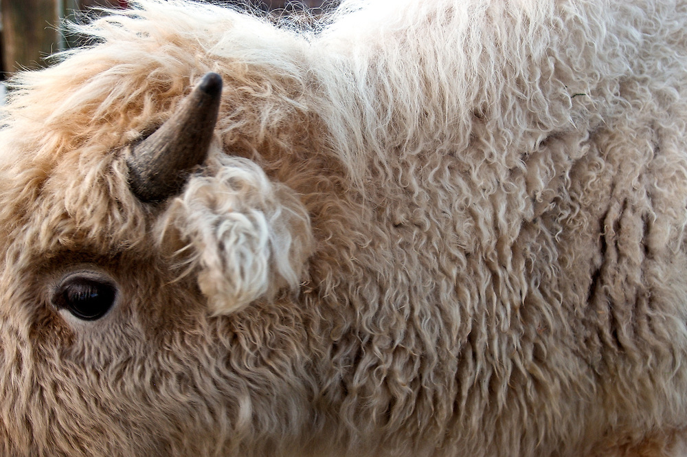 A close up of a white buffalo at the National Western Stock Show ing Denver, Colorado