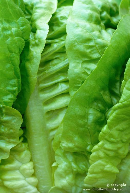 Lettuce 'Little Gem' syn. 'Sucrine', 'Sugar Cos' - Lactuca sativa