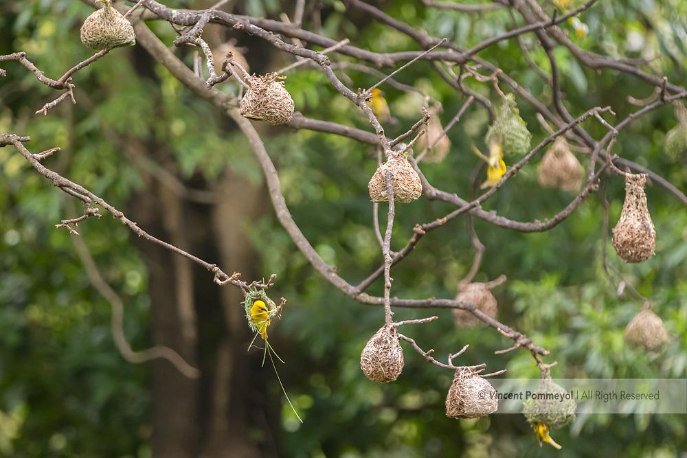 Eastern golden weaver-Tisserin jaune<br /> (Ploceus subaureus), South Africa.