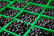 Fresh South Carolina blueberries at an organic local produce farmers market in Marion Square in Charleston, South Carolina (photo by Charleston SC photographer Richard Ellis)