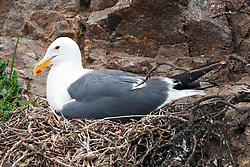 Western Gull (Larus occidentalis) sitting on nest, Anacapa Island, Channel Islands National Park, California, United States of America