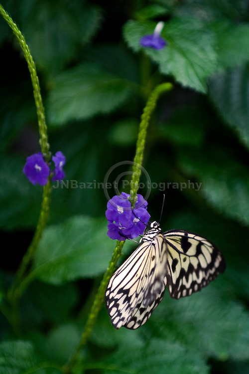 A large tropical butterfly searching for nectar among small flowers.