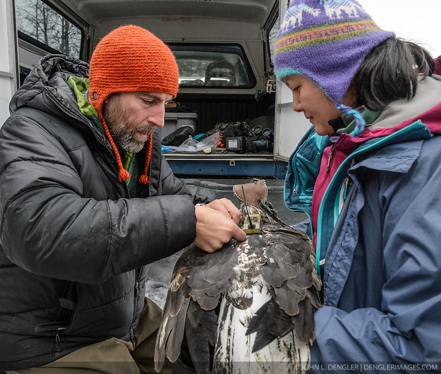 "Steve Lewis, Raptor Management Coordinator, U.S. Fish & Wildlife Service (left), attaches a solar-powered GPS satellite transmitter (also known as a PTT - platform transmitter terminal) to the back of a bald eagle (Haliaeetus leucocephalus) using a lightweight harness. Assisting Lewis with the attaching of the GPS satellite transmitter by holding the eagle is Yiwei Wang, graduate student, University of California Santa Cruz (right). The eagle, captured in the Alaska Chilkat Bald Eagle Preserve will be tracked by Rachel Wheat, a graduate student at the University of California Santa Cruz. Wheat is conducting a bald eagle migration study of eagles that visit the Chilkat River for her doctoral dissertation. She hopes to learn how closely eagles track salmon availability across time and space. The latest tracking location data of this bald eagle known as ""2Z"" can be found here: http://www.ecologyalaska.com/eagle-tracker/2z/ . During late fall, bald eagles congregate along the Chilkat River to feed on salmon. This gathering of bald eagles in the Alaska Chilkat Bald Eagle Preserve is believed to be one of the largest gatherings of bald eagles in the world."