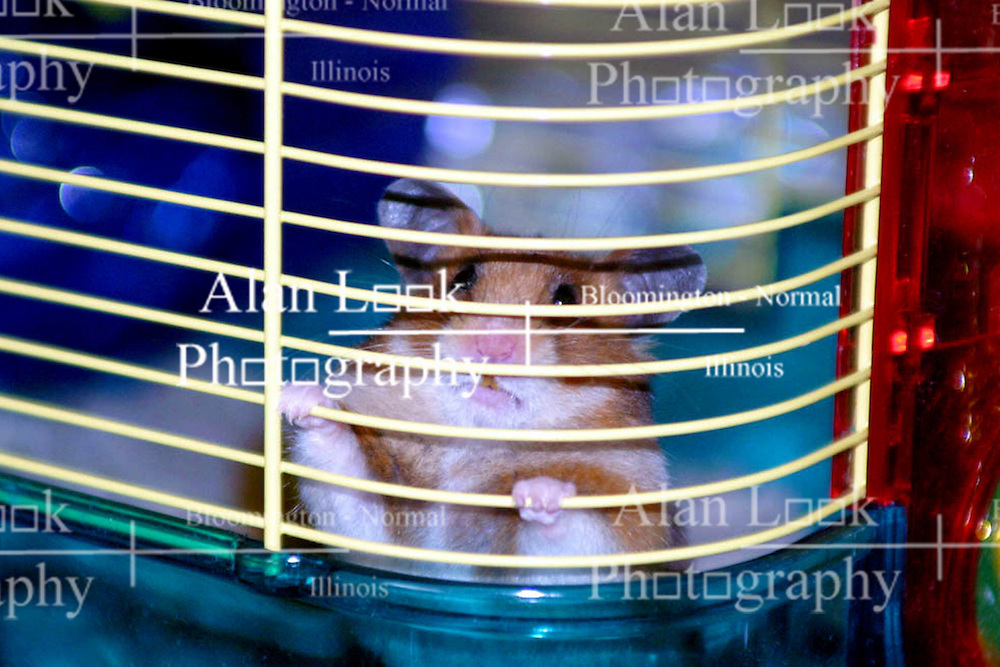 Chewy, a pet hamster appears to be a jail inhabitant peering through the bars of his habitat. (Photo by Alan Look)