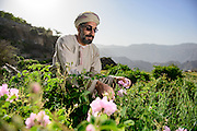 Farms are at the elevation of approximately 1800M above sea level seen in the back ground AlHajar Mountain Range that Jabal Akhdar is a part of