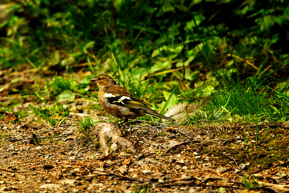 Sparrow in the woodland path.