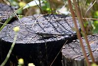 Apr 23, 2003; Huntington Beach, CA, USA; Western Fence Lizard blends into the wood stump checking out the camera inside the Shrub Islands Coastal Reserve.  Mandatory Credit: Photo by Shelly Castellano/ZUMA Press.