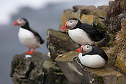Three Atlantic puffins (Fratercula arctica) rest at the top of the Látrabjarg bird cliff in Iceland, up to 440 meters (1444 feet) above the Atlantic Ocean. Látrabjarg is Europe's largest bird cliff.