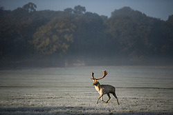 © Licensed to London News Pictures. 28/10/2019. London, UK. A deer stag stands in a frost and mist covered landscape on a bright winter morning in Richmond Park, London. The UK is due to see brighter weather over the next few days, following days of heavy rain which caused flooding in parts. Photo credit: Ben Cawthra/LNP