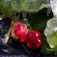A protective layer of ice coats the outside of a strawberry in Plant City, Florida January 11, 2010. The plants are watered through the night. Photo by Scott Audette