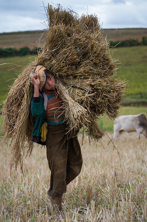 Farmer carrying sticky rice in Myanmar