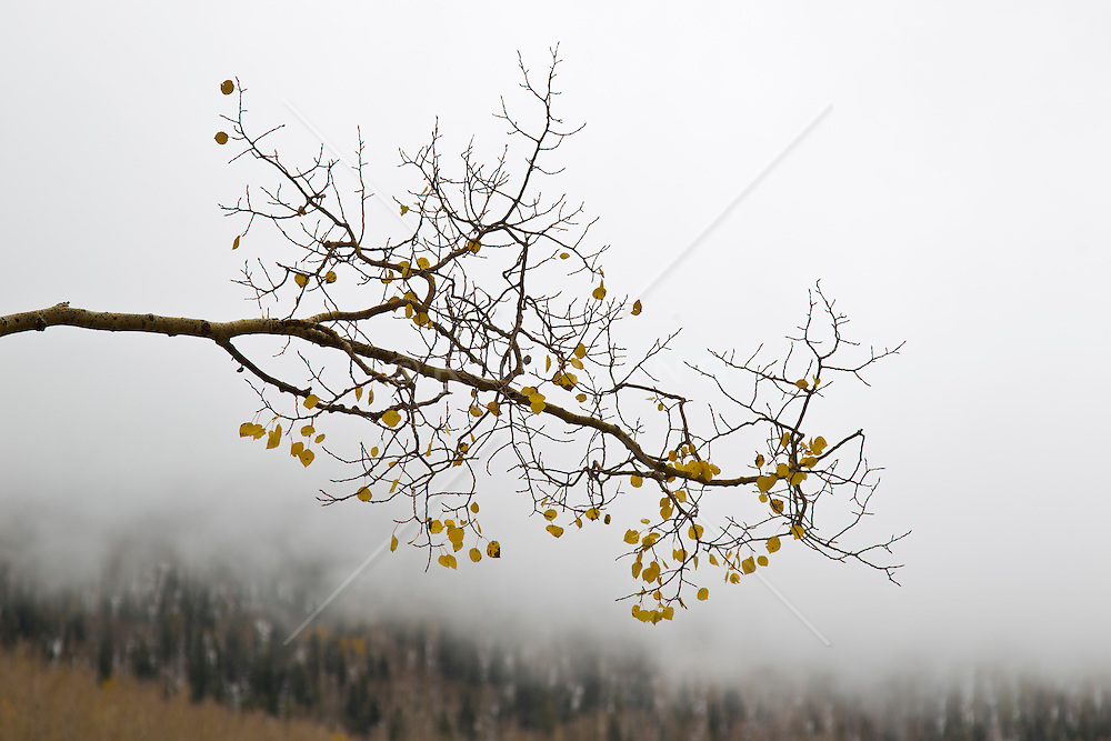Aspen tree branch against a foggy mountain in New Mexico in The Fall