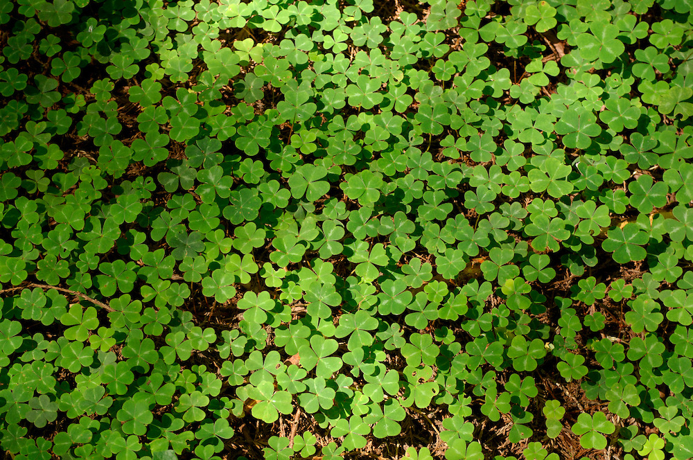 Clover covering ground, Avenue of the Giants, Humboldt Redwood State Park, near Pepperwood, California, United States of America