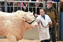 "Pictured: The World Famous  Stirling Bull Sales come to an end today with the sale of some 1000 bulls in the pedigree Charolais stock range some coming  from as far as Orkney Bulls sold in price from £5000 to £25,000  <br /> Pic : JoeyKelly EEm 19/02/2017<br /> <br /> PRESS RELEASE CAPTION:<br /> 1048 pedigree cattle to go under the hammer at Stirling Bull Sales<br /> United Auctions is set to stage 1048 pedigree bulls and females on show and sale for the Stirling Bull Sales next month.<br /> A compact format continues this year for the two-week event at Stirling Agricultural Centre, which runs from Sunday 5th to Monday 6th February and from Sunday 19th to Tuesday 21st February.<br /> In week one, judging of Aberdeen-Angus and Beef Shorthorn breeds will take place on the first Sunday while Monday 6th February will feature the sales of Aberdeen-Angus, Beef Shorthorn, British Blue as well as Limousin cattle whose pre-sale show is held in the morning.<br /> Sunday judging continues in week two with the pre-sale shows of Simmental and Salers on Sunday 19th February followed by their sales on Monday 20th February.<br /> The show and sale of pedigree Charolais will take place on Monday 20th and Tuesday 21st February, respectively.<br /> John Roberts, Director and Auctioneer at United Auctions, said: ""The Stirling Bull Sales offer a top quality line up of pedigree bulls and females appealing to both pedigree and commercial buyers.<br /> ""The compact programme aims to effectively maximise farmers' time at the Sales. With four different breeds on sale on the first Monday, the atmosphere will be tremendous.""<br /> The national event from Scotland's leading livestock auctioneers sees an increase in the number of Aberdeen-Angus bulls forward – up 20 – on last year while week two features a new Centre record of 29 Salers bulls forward. Auctioneer Raymond Kennedy will lead this sale on Monday 20th February.<br /> David Brown, Director and Auctioneer at United Auctions, commented: ""Raymond is keen to build on the previous success of the br"