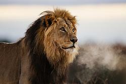 Kalahari lion ( Panthera leo ) at first light with breath shimmering on a cold morning, Kalahari Desert,South Africa,Africa