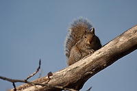 Although squirrels don't actually go away in the winter, we don't see them very often either.  In the spring they get very noticeably more active and that's always a good sign that spring is on its way!..©2009, Sean Phillips.http://www.Sean-Phillips.com