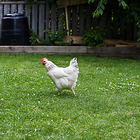 A white hen with bright red comb and wattle searches for insects in bright green grass and clover.