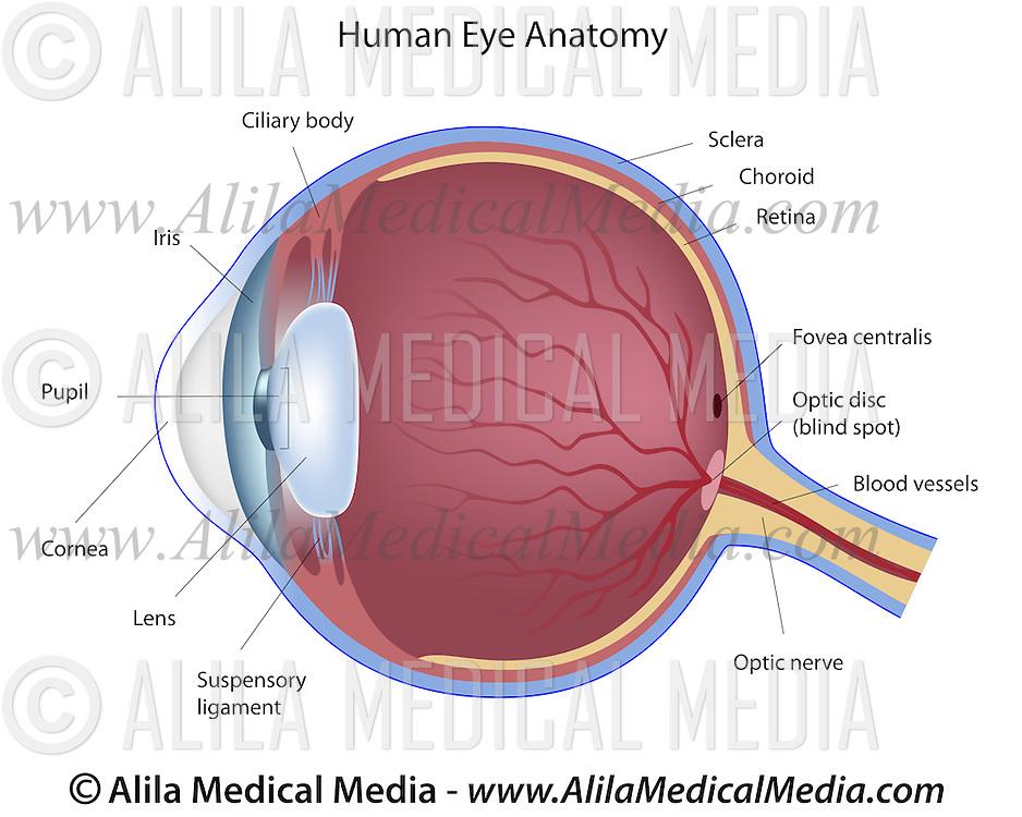 Eye Anatomy Labeled Diagram Alila Medical Images
